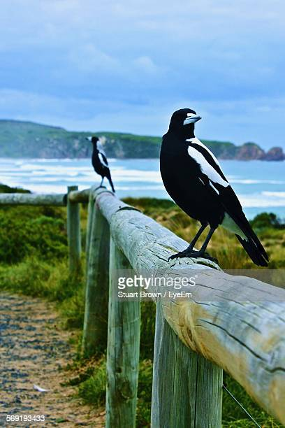 Australian magpies perching on wooden railing by sea against cloudy sky