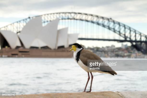 australian masked lapwing bird with sydney harbour bridge and opera house in background - wader bird stock photos and pictures