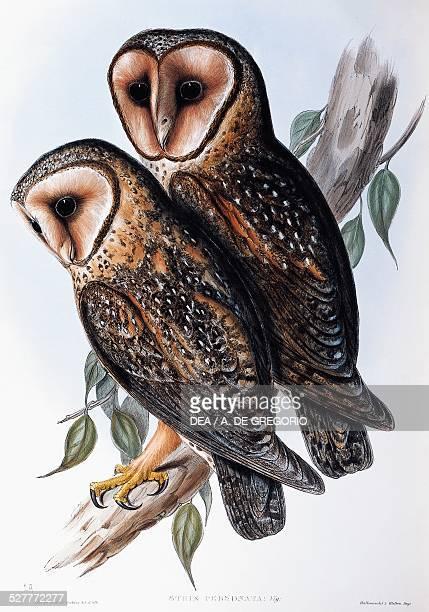 Australian MaskedOwl lithograph from the Birds of Australia by John Gould United Kingdom 19th century