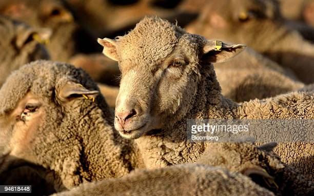 Australian merino sheep stand as a herd on Cavan Property near Yass southern New South Wales Australia on Tuesday May 1 2007 Hugo Boss AG Germany's...