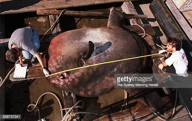 Australian Museum staff Mark McGrouther left and Shaun Morris examine a 1400kg sunfish impaled by a ship off Jervis Bay 13 October 1998 SMH Picture...