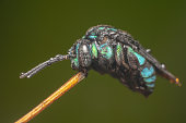 australian native thyreus nitidulus neon cuckoo