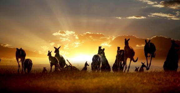 Australian outback kangaroo on the sunset series 120113390