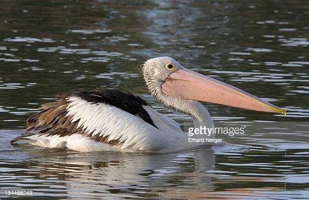 australian pelican (pelecanus conspicillatus), australia - vista lateral stock pictures, royalty-free photos & images