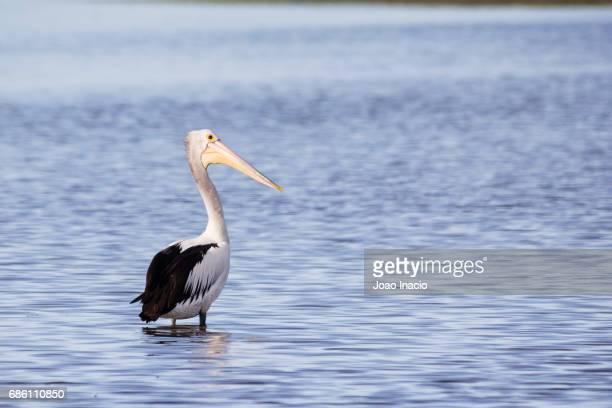 Australian pelican, Bowling Green Bay, Australia
