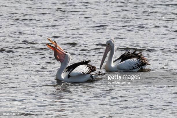 australian pelican feeding on fish, port macquarie, nsw, australia. - port macquarie stock pictures, royalty-free photos & images