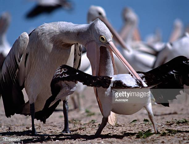Australian pelican feeds its young Though remote from disturbance the rookerys success relies on the health of the surrounding marine and estuarine...