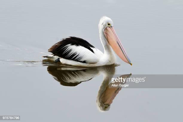 Australian pelican (Pelecanus conspicillatus) floating on water, Canberra, Australia