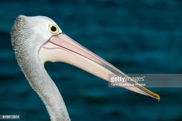 Australian pelican, Pelecanus conspicillatus, Australia