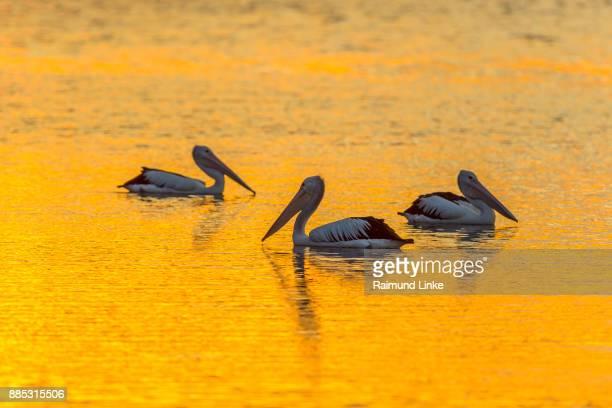 Australian Pelican, Pelecanus conspicillatus, tree Birds at Sunset, Rockhampton, Queensland, Australia