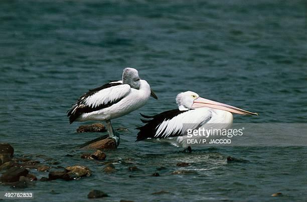 Australian pelicans Pelecanidae Kangaroo Island South Australia Australia