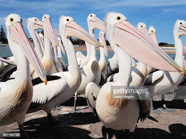 Australian pelicans waiting to be fed