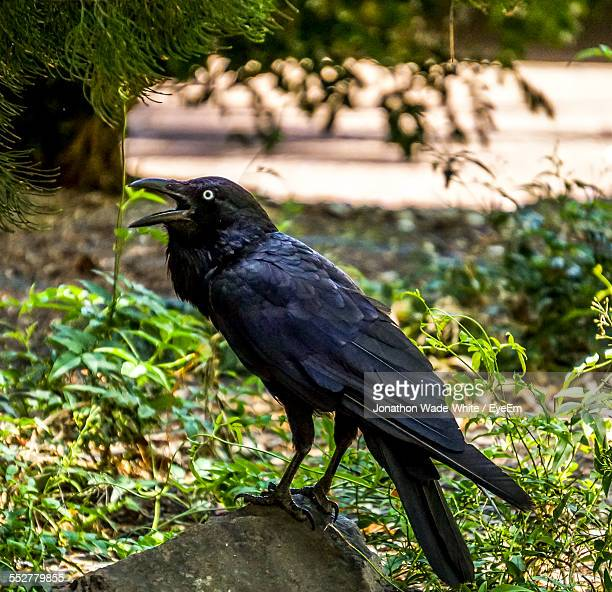 australian raven perching on rock in forest - perching stock pictures, royalty-free photos & images