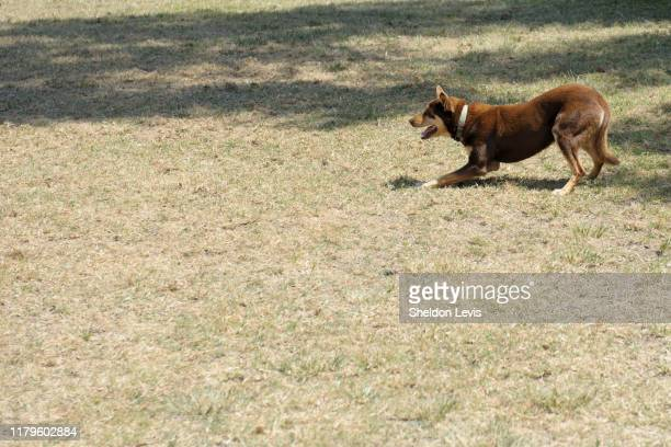 "australian ""red cloud"" kelpie dog in ""highly alert"" pose, intensely looking at out-of-frame interest - by sheldon levis stock pictures, royalty-free photos & images"
