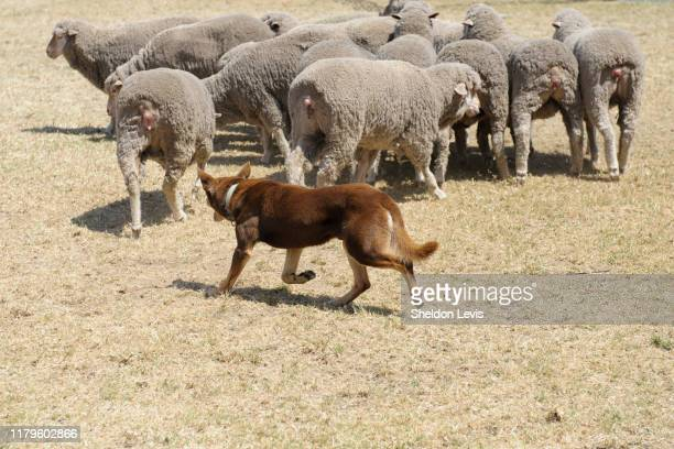 "australian ""red cloud"" kelpie dog working a small flock of merino sheep - by sheldon levis stock pictures, royalty-free photos & images"