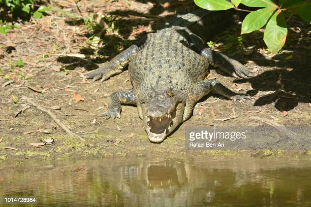 australian saltwater crocodile in queensland australia - rafael ben ari stock pictures, royalty-free photos & images