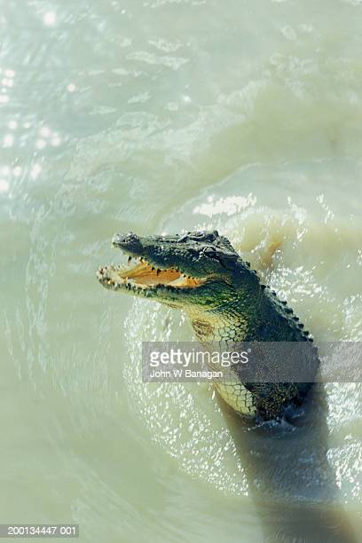 Australian saltwater crocodile leaping out of river, elevated view