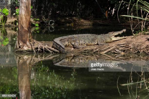 Australian saltwater crocodile, Queensland, Australia