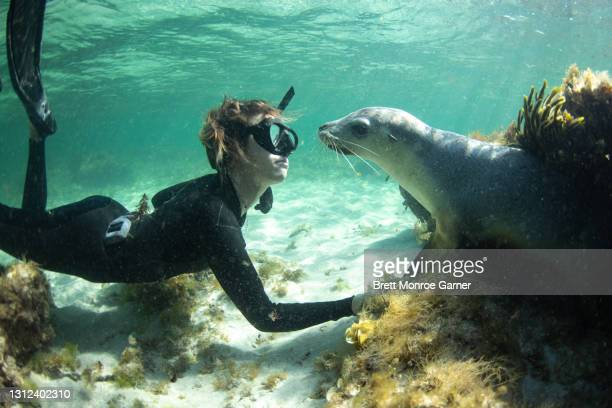 australian sea lion and a diver - seascape stock pictures, royalty-free photos & images