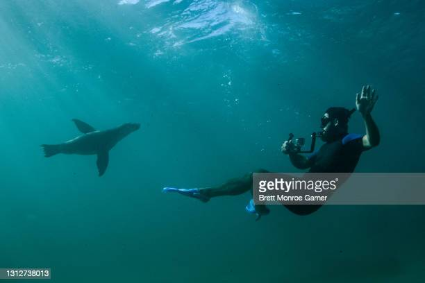 australian sea lion and a diver - coral sea stock pictures, royalty-free photos & images