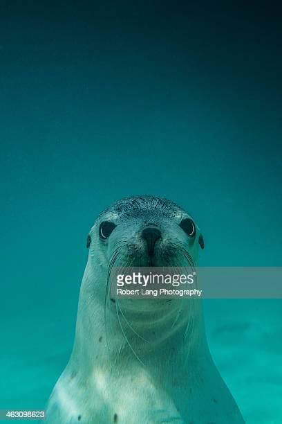 Australian Sea Lion, Baird Bay - South Australia