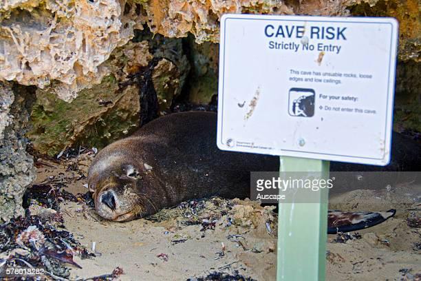 Australian sea lion Neophoca cinerea dozing at a cave entrance Seal Island Shoalwater Islands Marine Park Western Australia Australia
