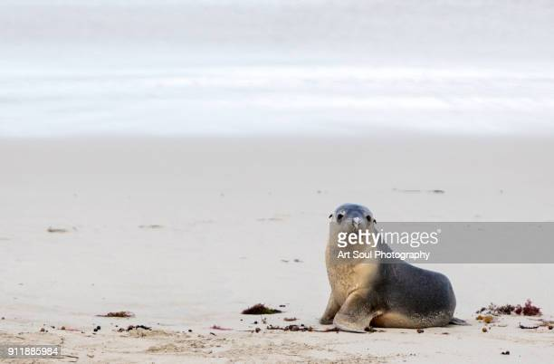 Australian Sea Lion on the beach looking at the camera with a feather stuck on his nose