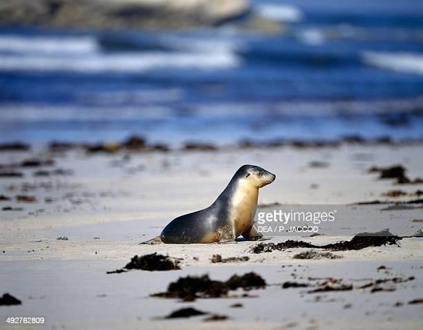 Australian sea lion Otariidae Kangaroo Island Australia