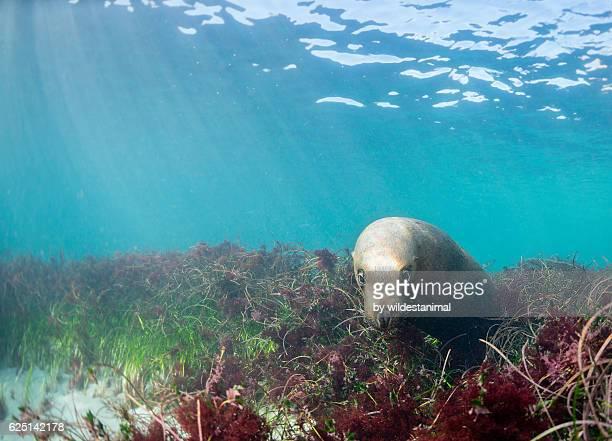 australian sea lion - ilha netuno - fotografias e filmes do acervo