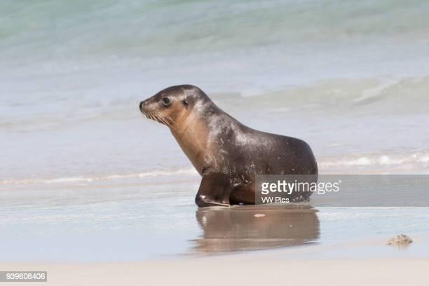 Australian Sea Lion pup at water's edge Seal Bay Conservation Park Kangaroo Island Austrtalia