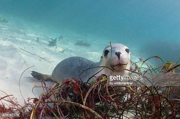 australian sea lion pup - ilha netuno - fotografias e filmes do acervo
