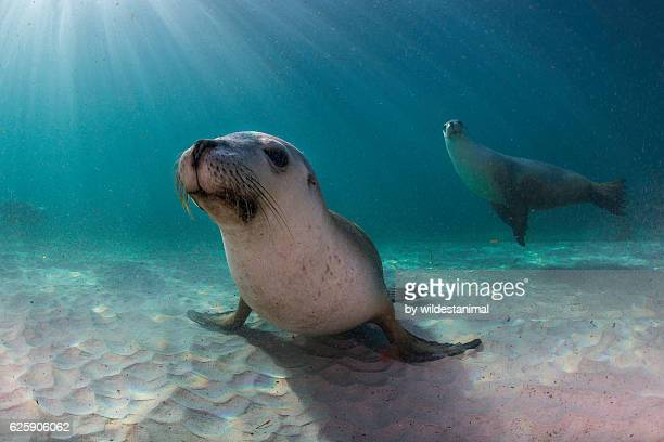 australian sea lion pups - mariner lebensraum stock-fotos und bilder