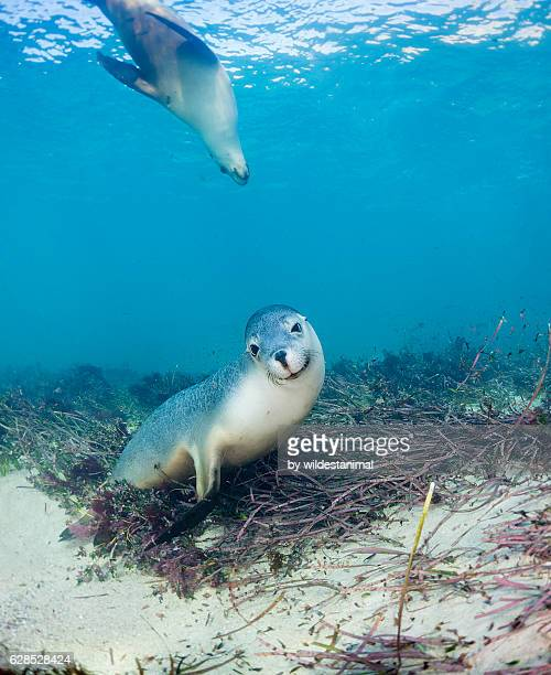 australian sea lion pups - baby seal stock photos and pictures