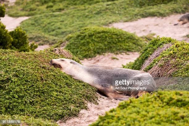 Australian Sea Lion sleeping on the beach at Kangaroo Island Australia