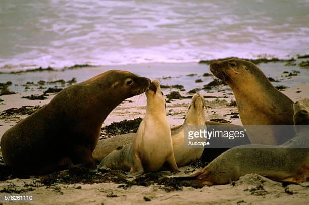 Australian sea lions adults and pups Seal Bay Conservation Park Kangaroo Island South Australia Australia