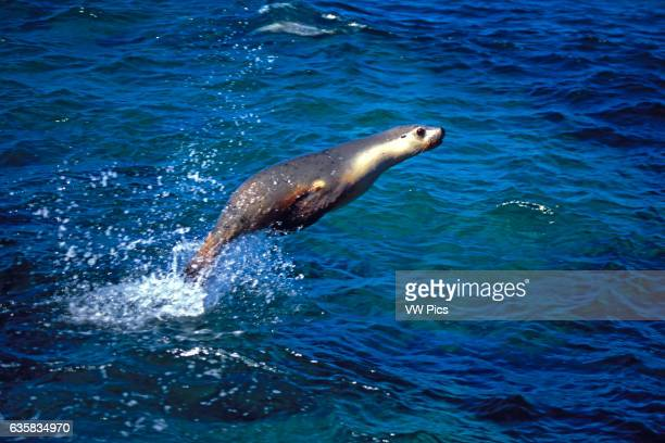 Australian sea lions Neophoca cinerea move like torpedos underwater and occasionally launch themselves into the air South Australia
