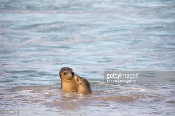 Australian Sea Lions on the beach at Kangaroo Island Australia