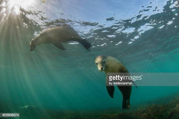 australian sea lions - ilha netuno - fotografias e filmes do acervo