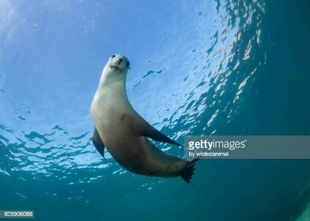australian sea lions - seal stock pictures, royalty-free photos & images