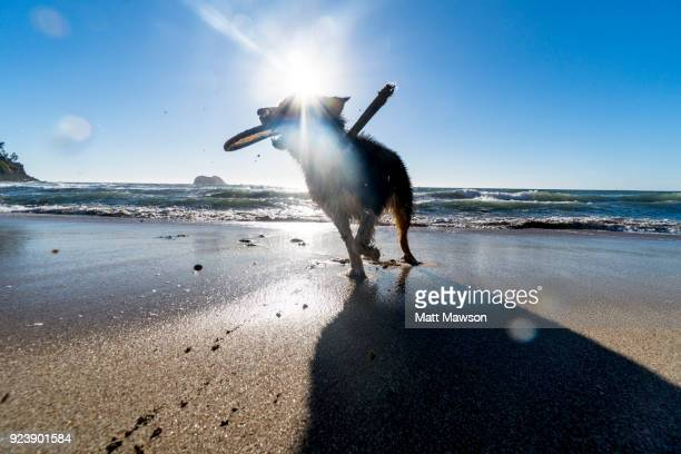Australian Sheepdog running on a beach in Mexico