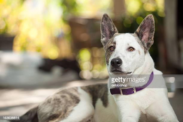 australian shepard blue heeler dog looking at camera lying down - australian cattle dog stock pictures, royalty-free photos & images