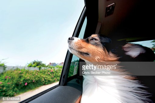 Australian Shepard dog riding in car with window open