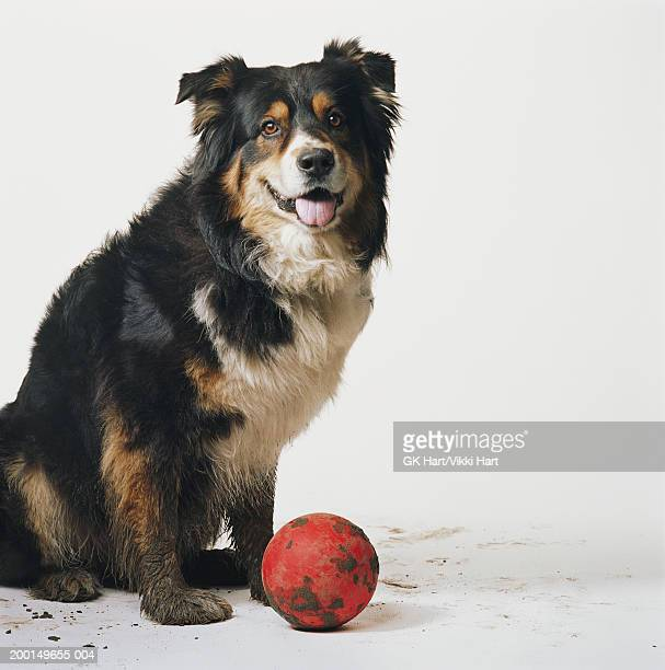 Australian sheperd with muddy paws and red ball