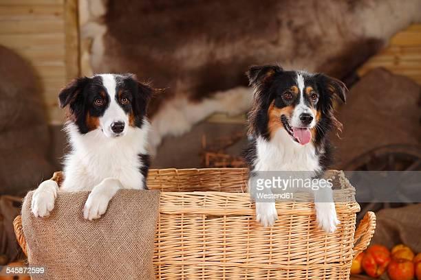 Australian Shepherd and Miniature Australian Shepherd in a basket