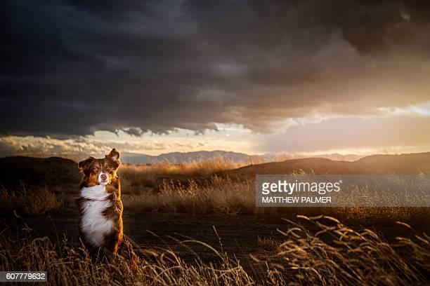 Australian Shepherd at Sunset
