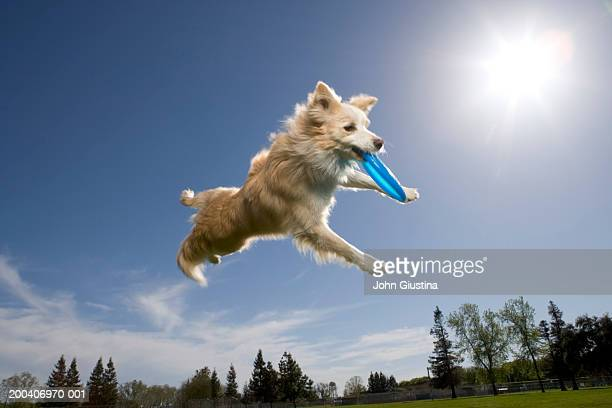 australian shepherd catching plastic disc in midair - catching stock pictures, royalty-free photos & images
