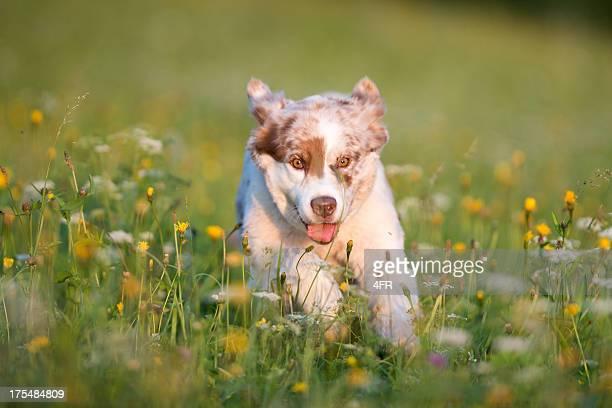 australian shepherd dashing through the meadows - australian shepherd puppies stock pictures, royalty-free photos & images