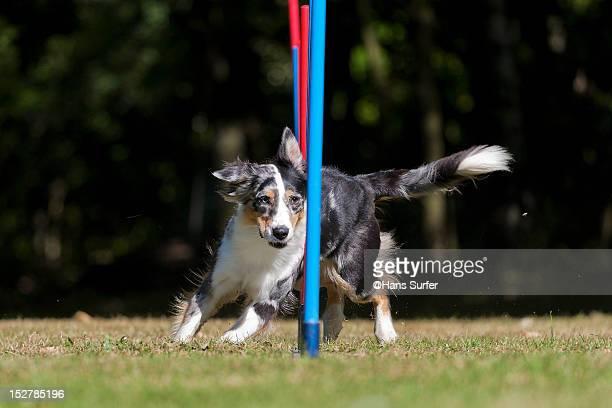 Australian Shepherd does her slalom