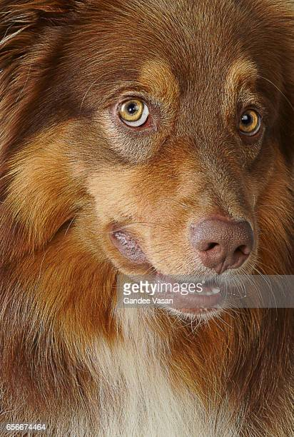 Australian Shepherd Dog Closeup1