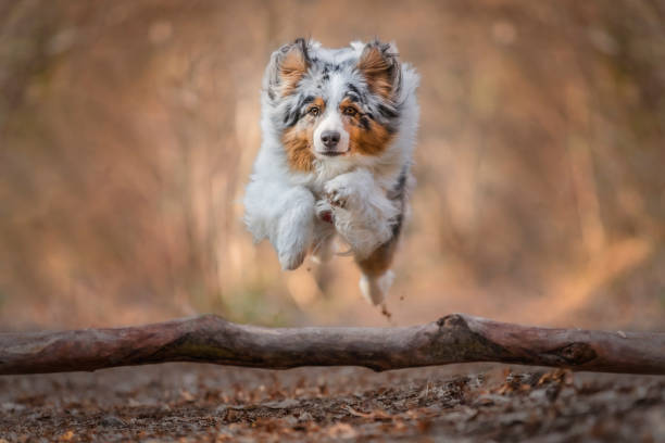 Australian shepherd dog in action, jumping over a trunk in a forest, Lurago d' Erba, Como province, Italy